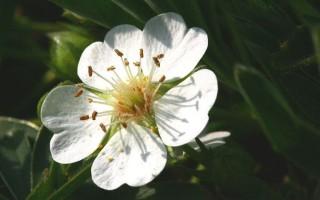 Лапчатка белая (пятипал): применение в народной медицине и полезные качества