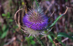 Ворсянка: фото и лечебные свойства растения