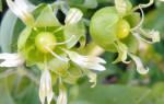 Волдырник ягодный: описание растения и его целебные свойства