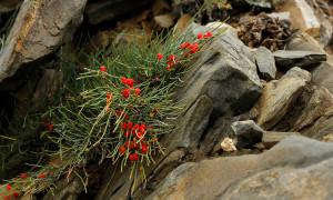Эфедра: почему в России запрещают лечебное растение