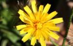 Ястребинка: описание, лечебные свойства и вред