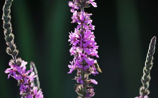 Вероника лекарственная: лечебные свойства, посадка и уход в открытом грунте