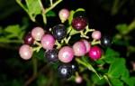 Виноградовник: виды, выращивание, лечебные свойства и применение