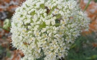 Вздутоплодник сибирский: описание, лечебные свойства и применение