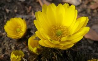 Адонис весенний: описание растения и красивые фотографии цветков
