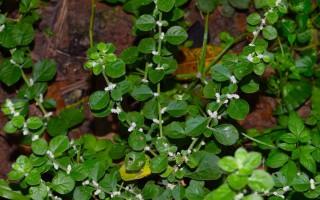 Эрва шерстистая: лечебная трава и мощное мочегонное средство при камнях в почках