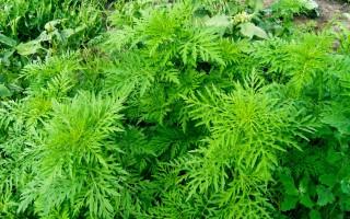 Когда цветет амброзия и что делать при аллергии на растение