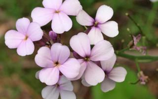 Вечерница Матроны: фото, выращивание, посадка и уход, свойства растения