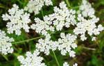 Анис обыкновенный: применение и лечебные свойства растения