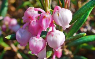 Подбел многолистный(андромеда): описание и выращивание растения
