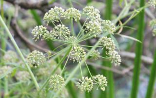 Вех ядовитый (цикута): описание растения и его применение