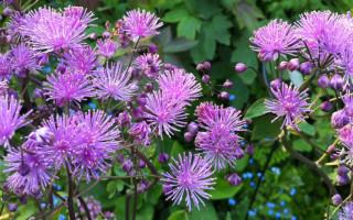 Василистник: описание декоративного растения с лечебными свойствами