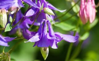 Аквилегия: как посадить и ухаживать за растением
