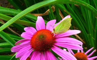 Эхинацея пурпурная – целебные свойства и уход в открытом грунте