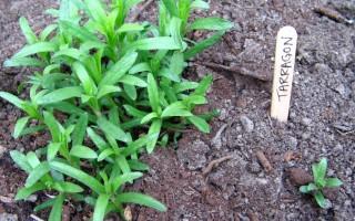 Эстрагон (тархун): полезные свойства и применение