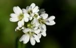 Веснянка весенняя: описание растения и лечебные свойства
