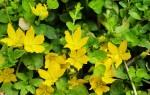Вербейник монетчатый: как посадить и ухаживать за растением