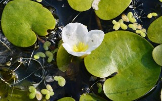 Водокрас лягушачий: полезное растение для водоемов