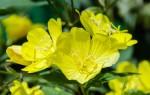 Энотера: особенности растения и способы выращивание