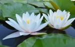 Кувшинка(водяная лилия): красивые фотографии и описание растения