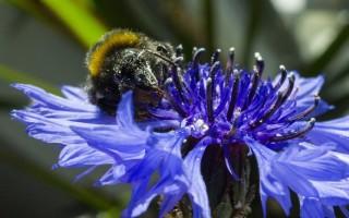 Цветы васильки: лечебные свойства и противопоказания, выращивание в открытом грунте