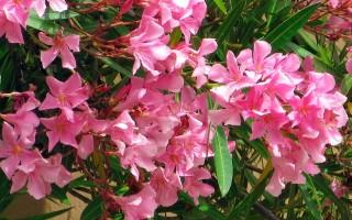 Олеандр: фото цветов и уход в домашних условиях