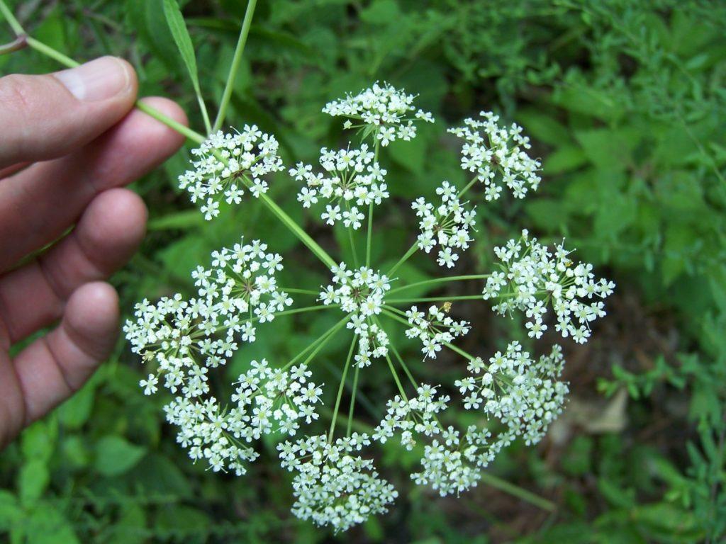 Цикута - ядовитое растение