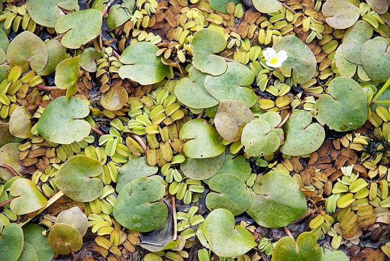 Водокрас - лекарственное растение