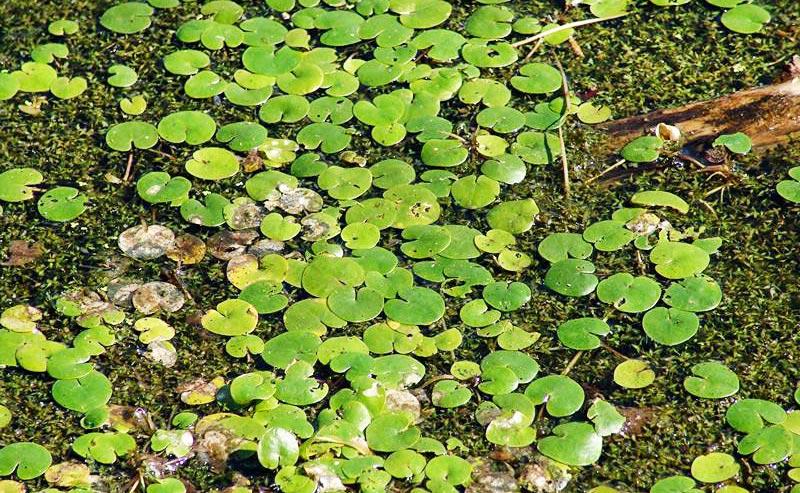 Произрастание водокраса