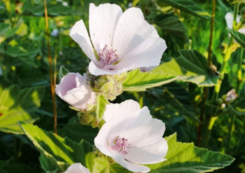 Алтей - лекарственное растение