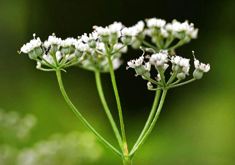 Белые лепестки аниса едва достигают 1,5 мм длины