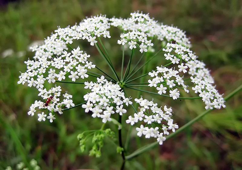 Анис обыкновенный - лекарственное растение