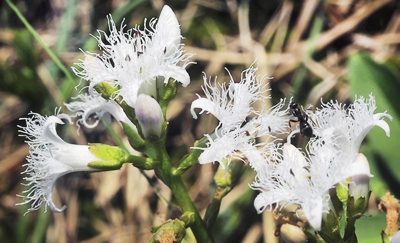 Вахта трехлистная - лекарственное растение