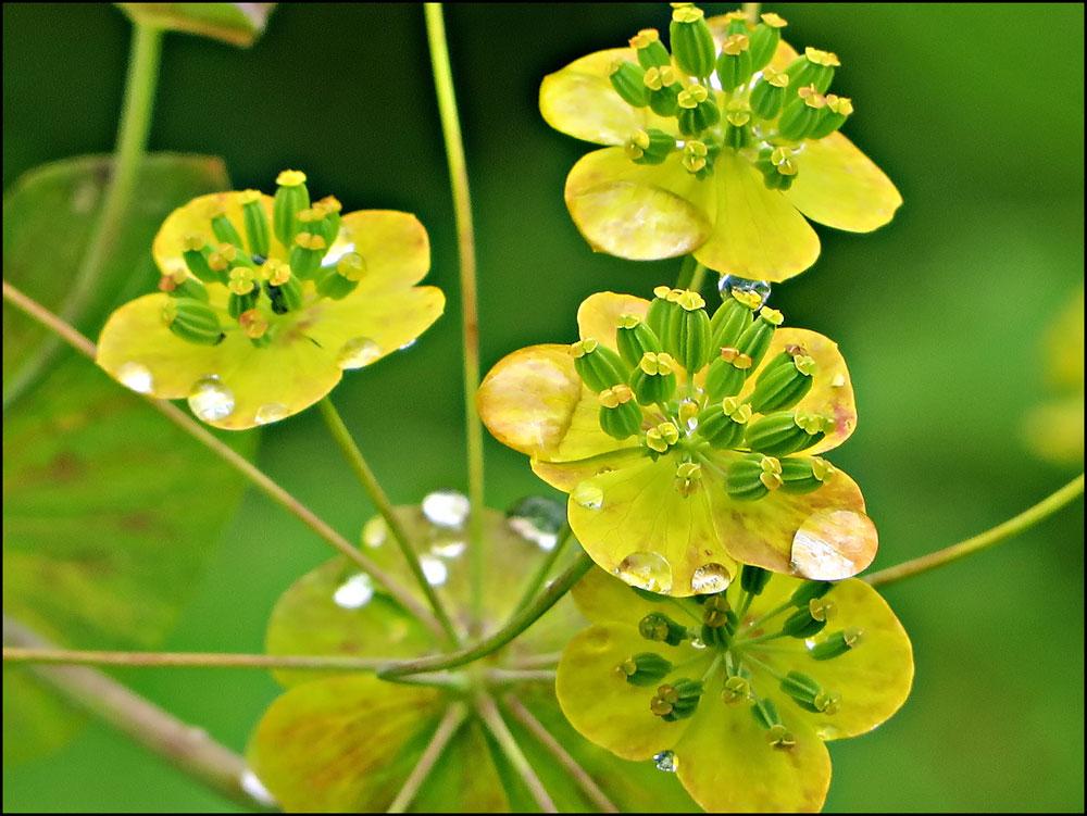 Володушка золотистая - многолетнее травянистое растение