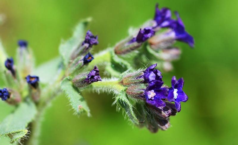 Воловик лекарственный - ядовитое растение