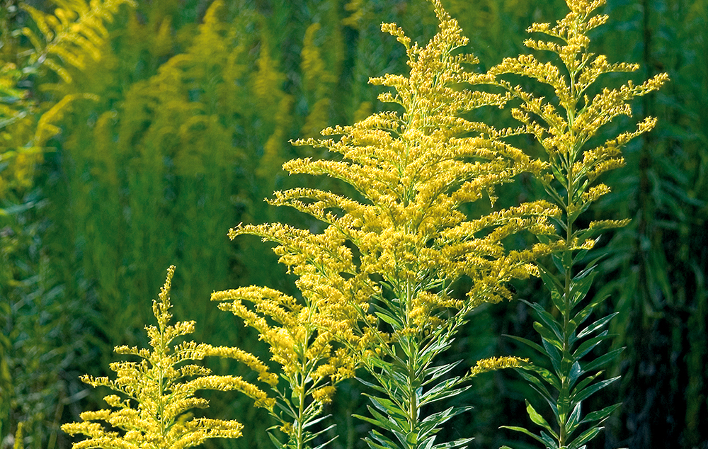 амброзия в период цветения