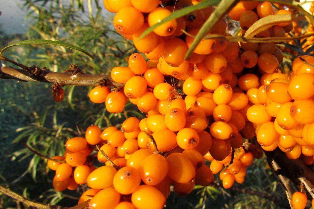 Болезни облепихи проявляются в период вегетации