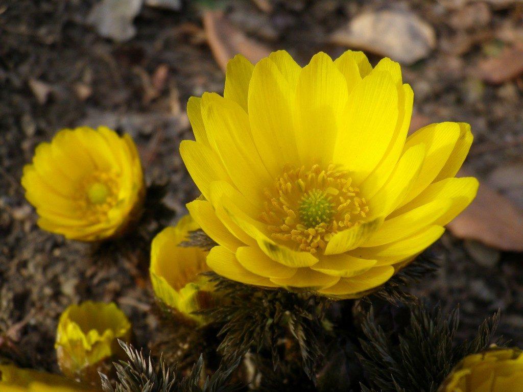 Адонис весенний фото