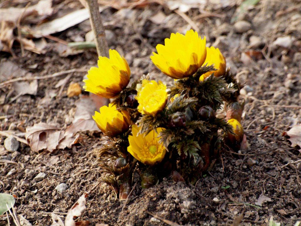 сбор цветка адонис
