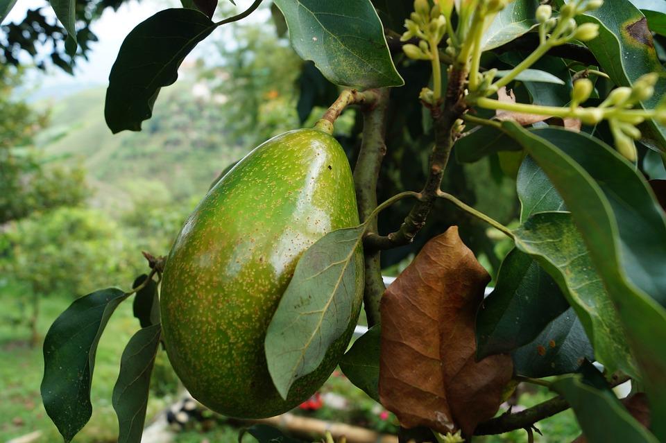Авокадо сорт Зутано
