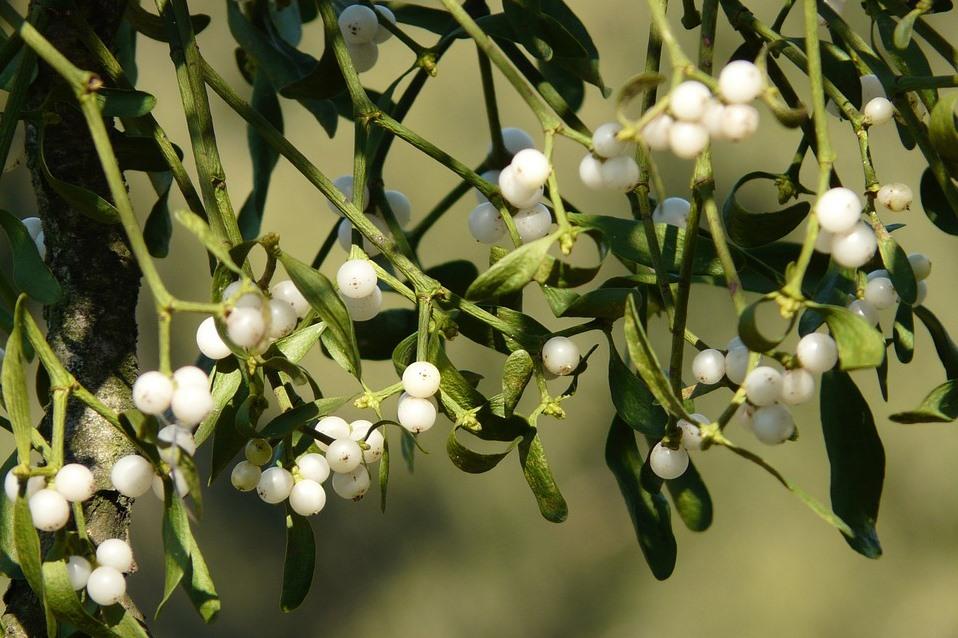 Плоды омелы