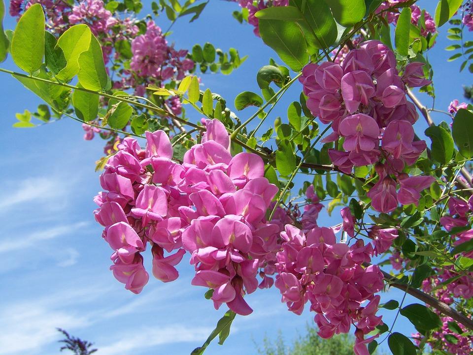 Робиния клейкая (Robinia viscosa)