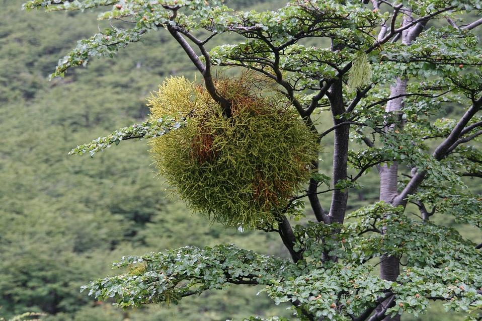 где растет омела