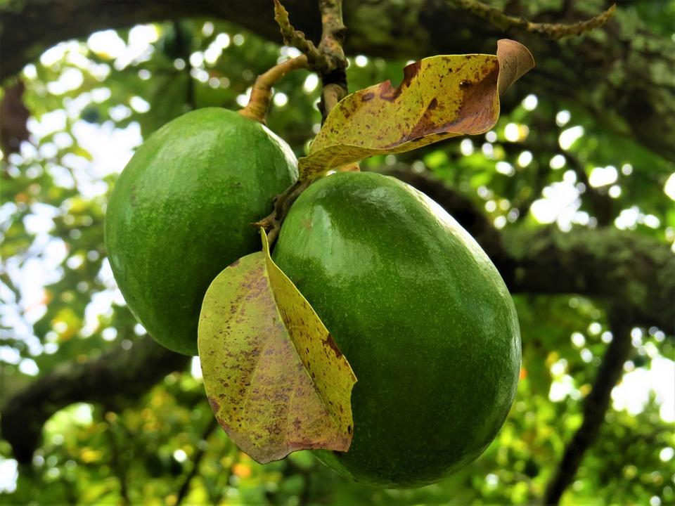 Лечебные свойства авокадо