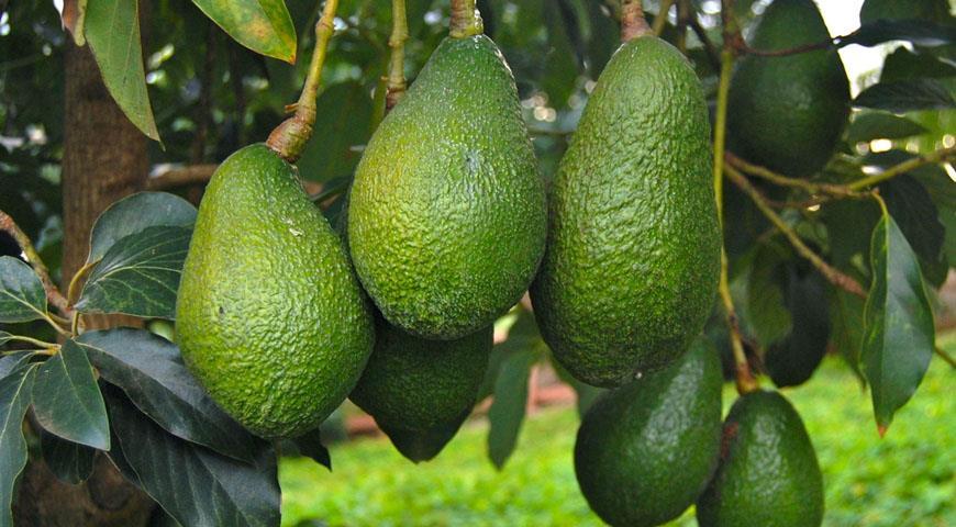 пересадка авокадо