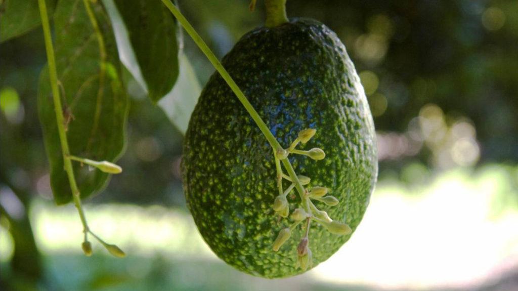 авокадо выращивание