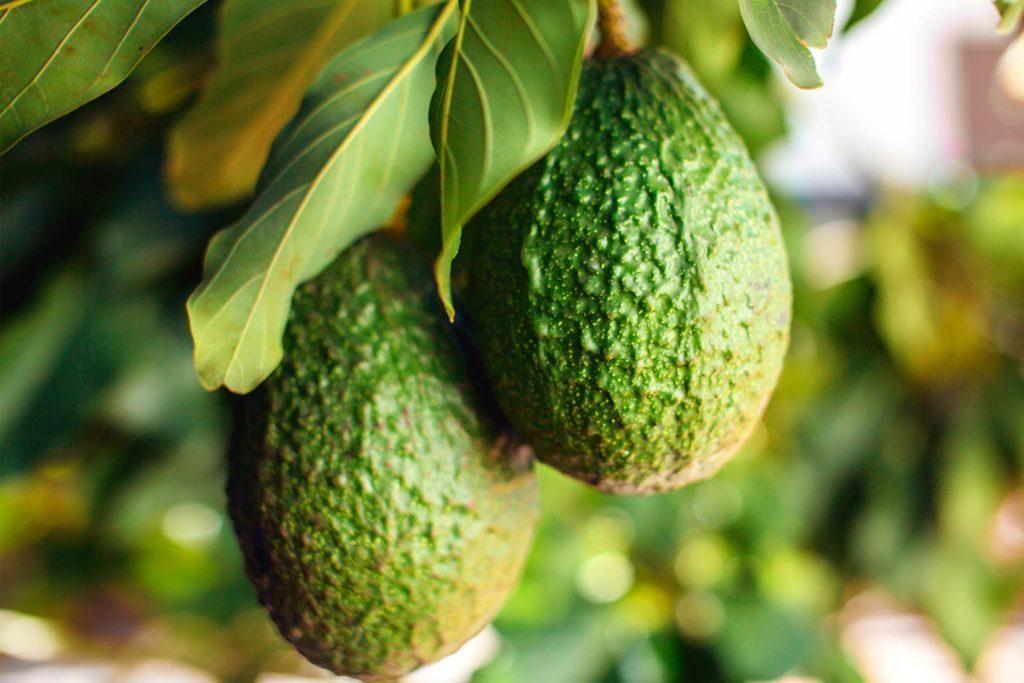 Авокадо фото