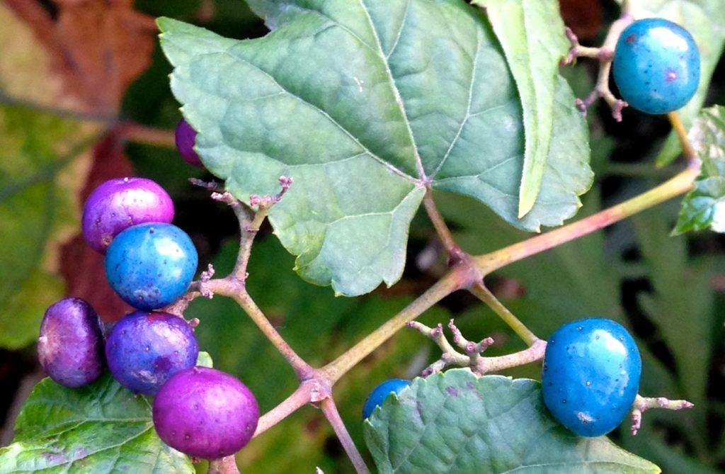 виноградовник короткоцветоножковый