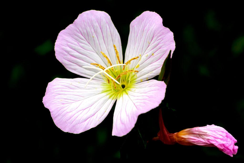желтый цветок многолетник