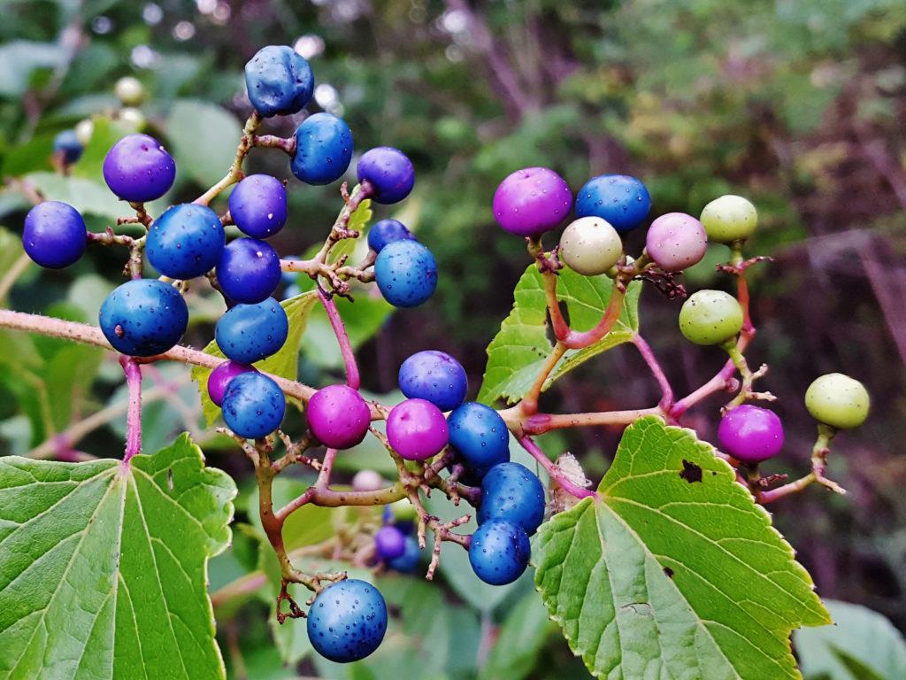 виноградовник железистый